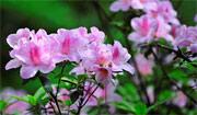 Azaleas in Full Blossom in Nanjiao Park