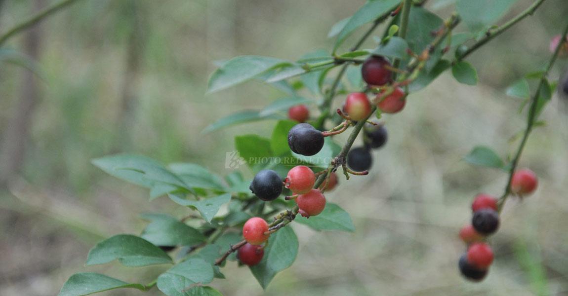 五郎溪村的致富果――蓝莓