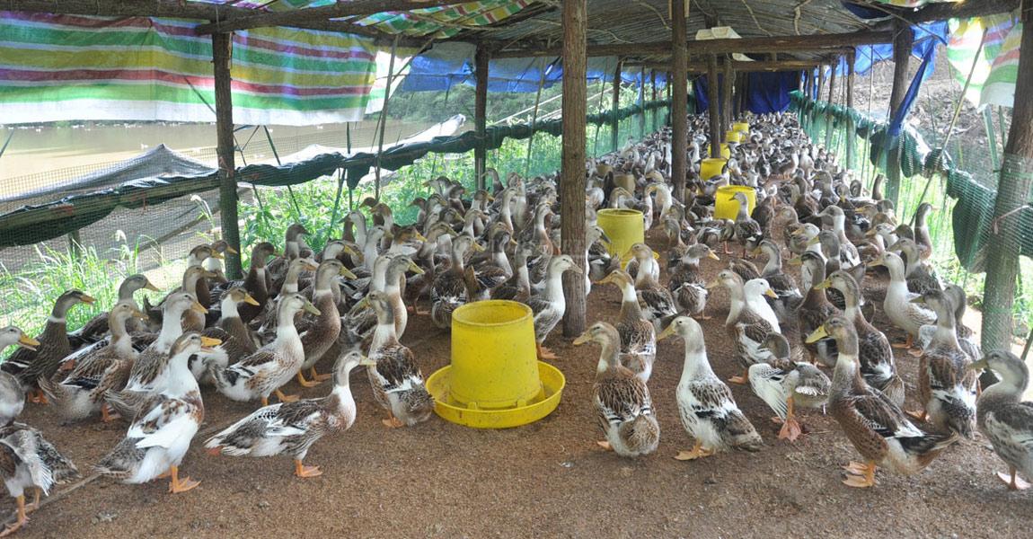 田达海在五郎溪残疾人创业孵化基地上养鸭,鸭子是他们一家生活的希望。