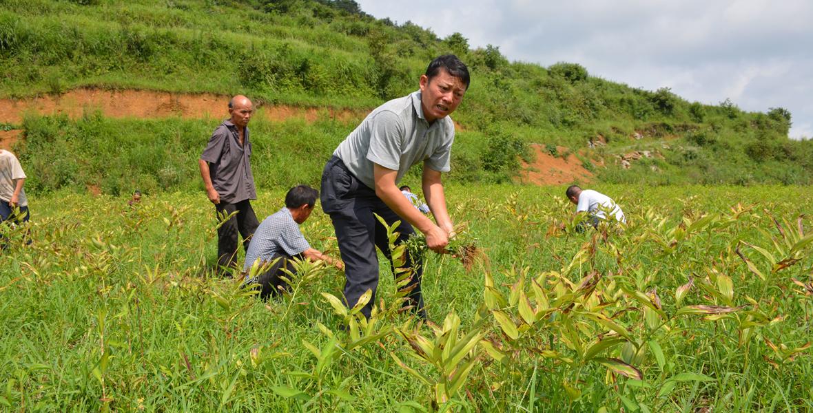 8月11日,带着大伙在玉竹田里除草的唐德安。有机玉竹种植不能打药,除草全靠人工。