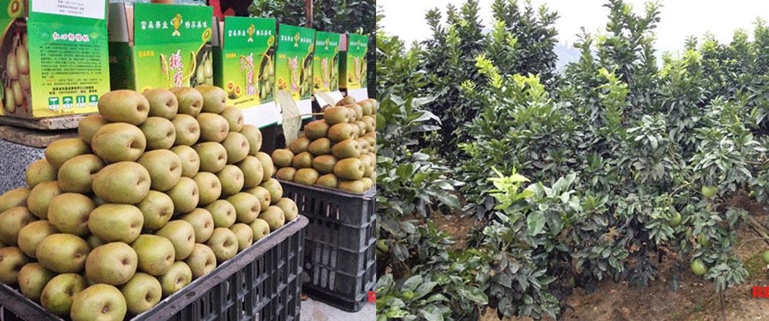 【网络媒体走转改】水果产业成凤凰菖蒲塘村脱贫良方