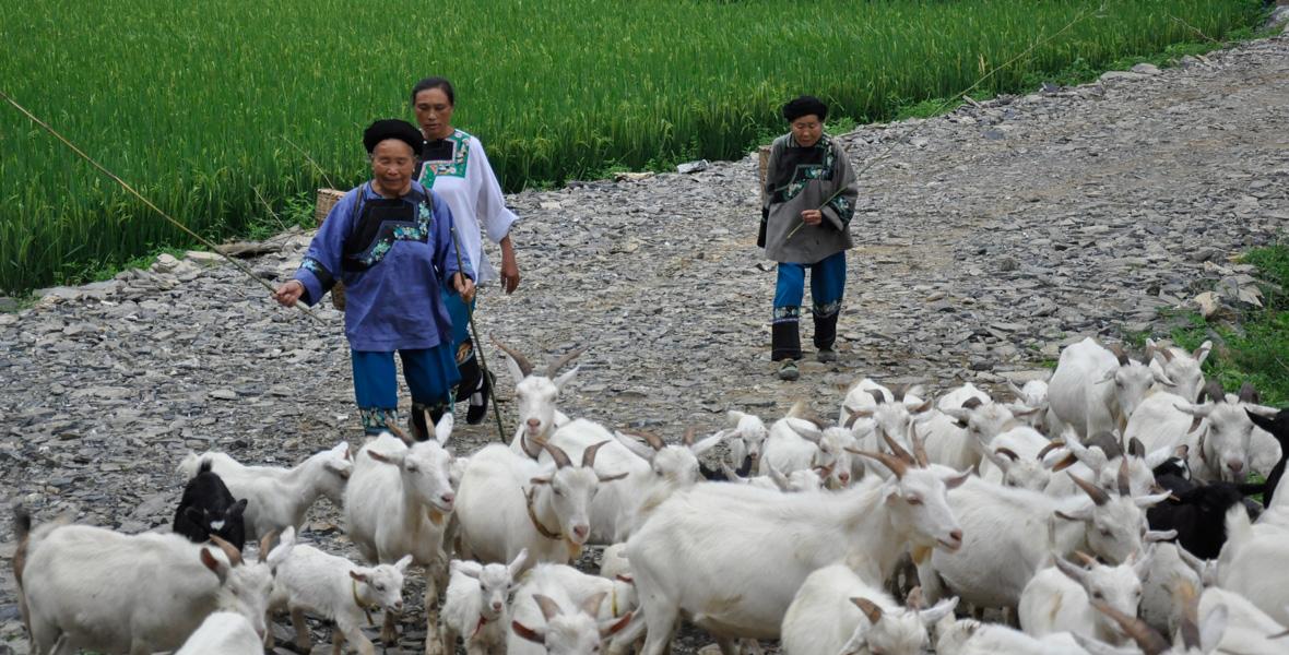 8月16日中午,九牛坡山顶烈日当空,蓝天白云映衬着绿树青山,74岁的牧羊人石七娃(左一)哼着歌,走在山间。