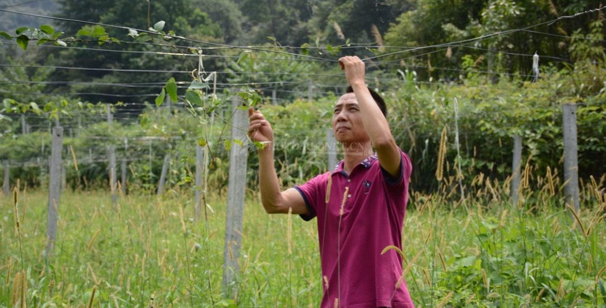 吴显林正在八月瓜基地缠藤蔓,等待明年8月份挂果。
