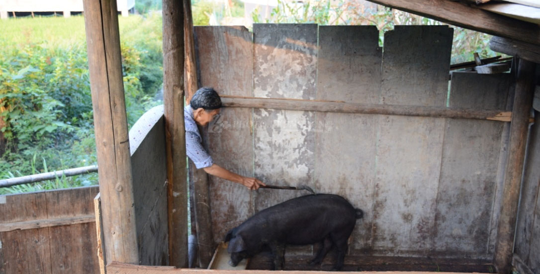 扶贫队今年6月份送来的小黑猪,成了曹寅珍家中的宝贝。