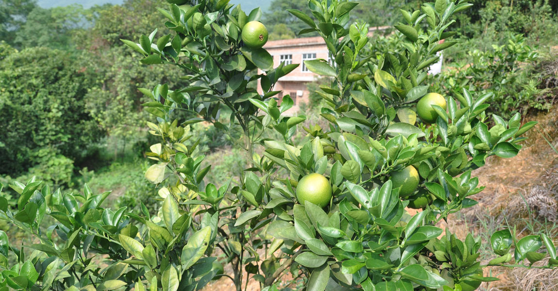 该村夏橙种植规模达到数百亩,有了经济效益,一个夏橙种植大户年纯收入有8万元。