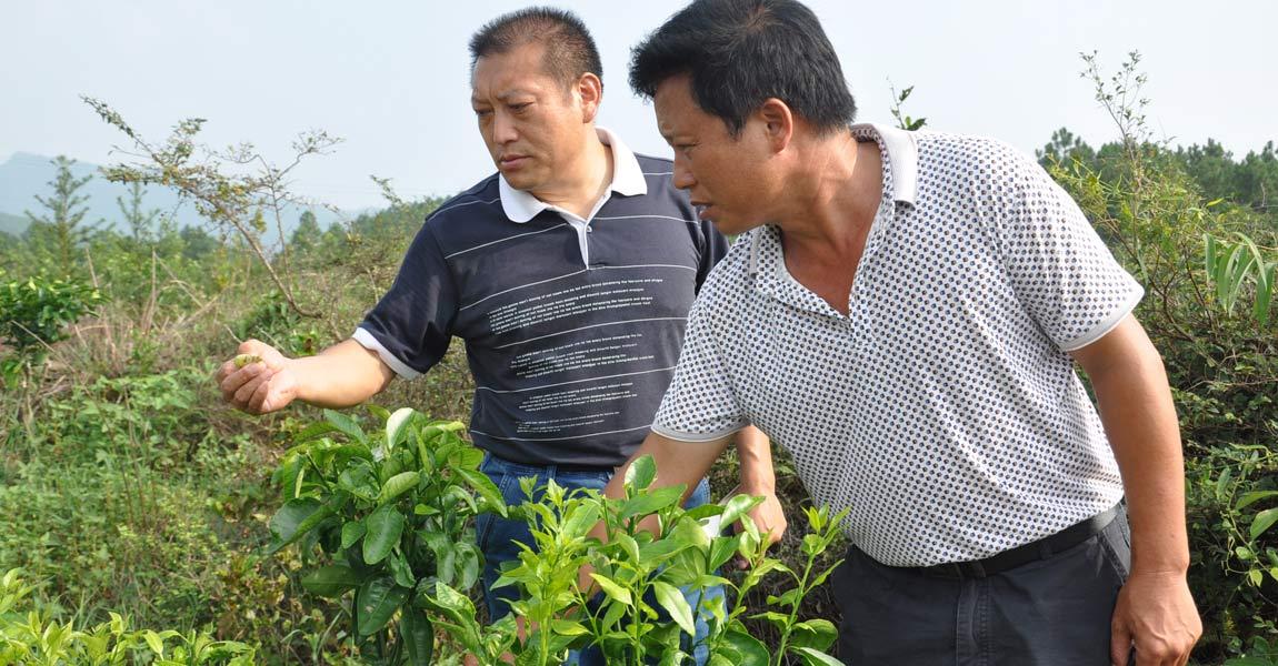 湖南省委宣传部帮扶工作队队长敖敏(左)与村支书钟立祥(右)在柑橘园里查看。
