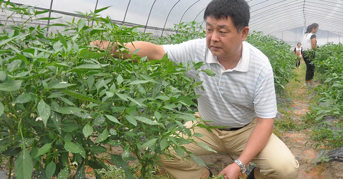 湖南省水利厅驻三家田村扶贫队长吴科平查看大棚蔬菜内辣椒种植情况。
