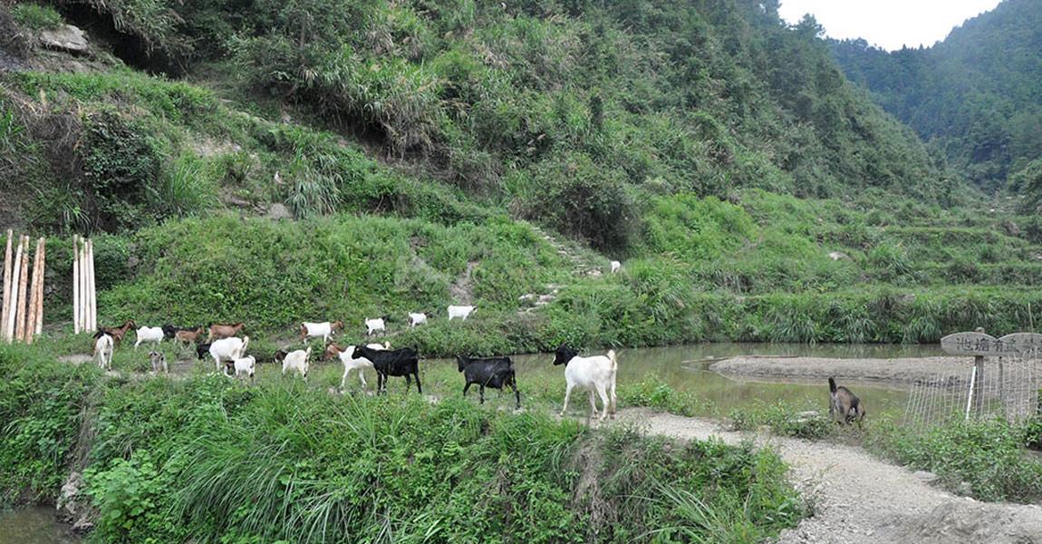 三家田畜牧养殖合作社内,牛羊成群。
