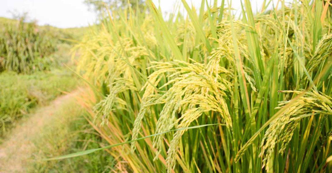 金灿灿的稻谷就要丰收。