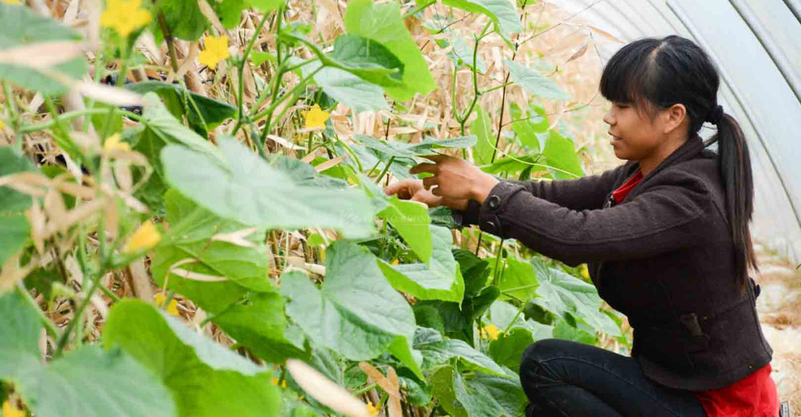 创享种养专业合作社吸引冰雇佣了不少当地的农户,最多时达五十多人。