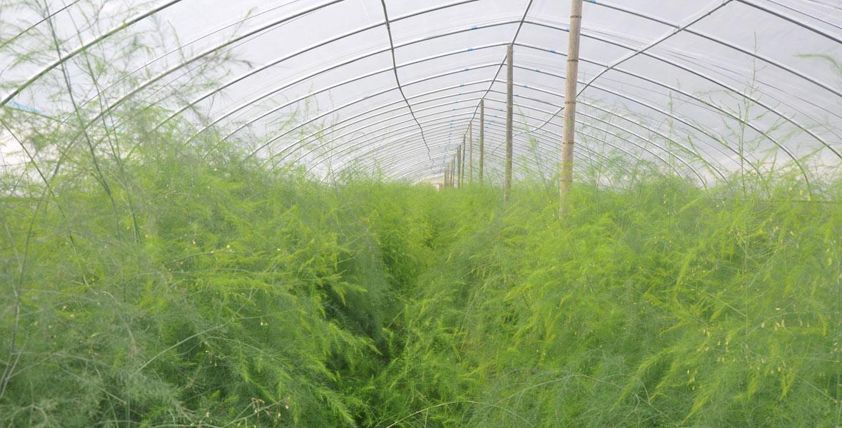 为了带领村民脱贫增收,扶贫工作队为廖家村规划建立了芦笋种植基地。