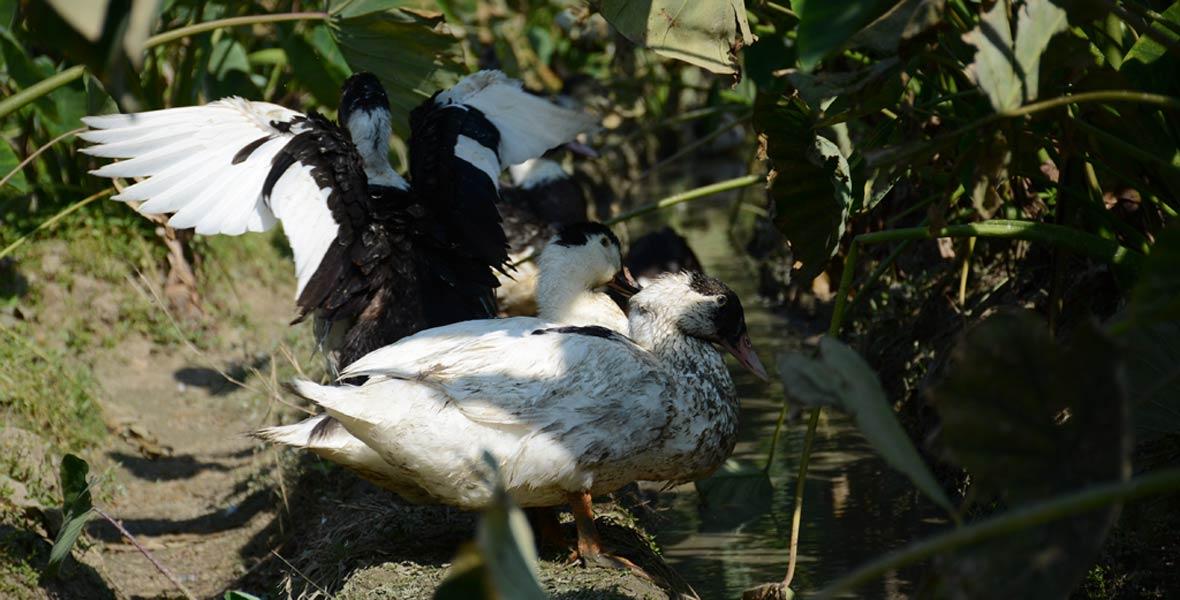 香芋地里,鸭子在觅食、嬉戏。
