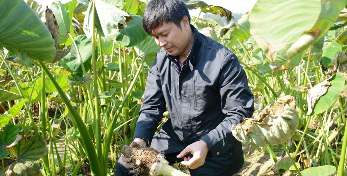扶贫工作队队长张志龙正在香芋地里挖香芋。