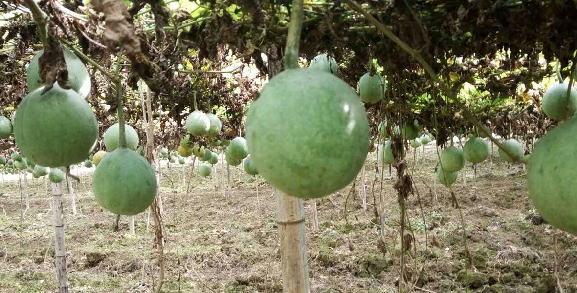 村里的瓜蒌产业基地