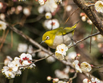 梅花绽放鸟登枝