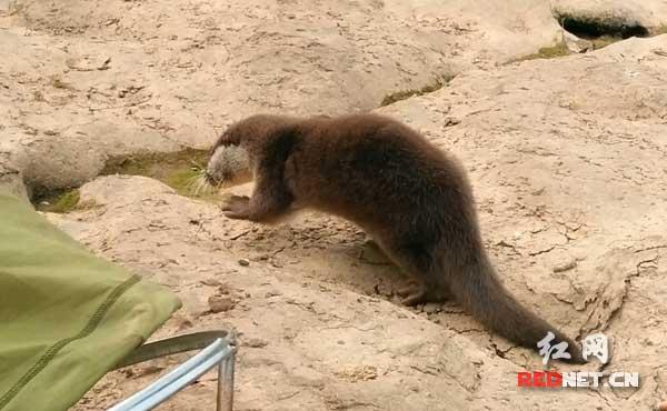 平江放生一只国家二级保护动物野生水獭
