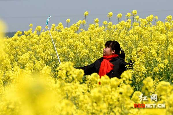 春光灿烂 双峰县锁石镇万亩油菜花开_湖南频道_红网