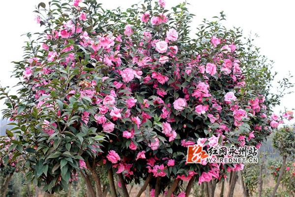 植物园茶花盛开