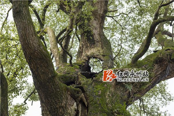 """东安""""树坚强"""""""
