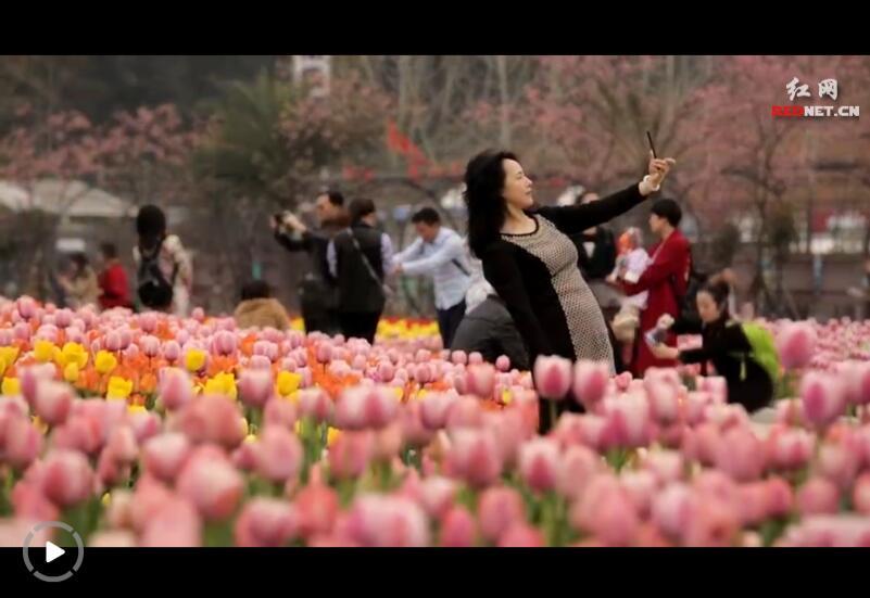 """湖南省植物园:郁金香""""花海""""扮靓春天"""