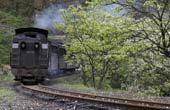 春天,小火车与桐子花有个约会(图)