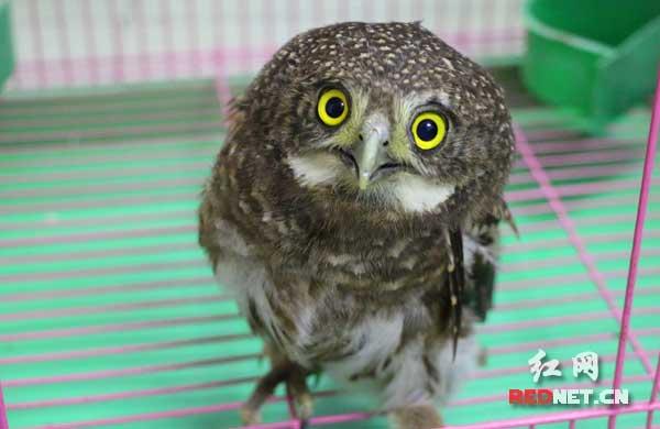 将一只酷似猫头鹰的小动物交到了他手中,小动物受了伤,已经飞不起来了