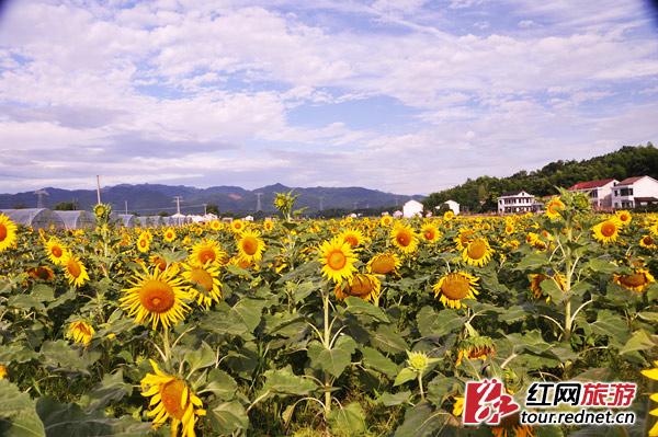 益阳桃江县:向日葵盛开的童话乡村