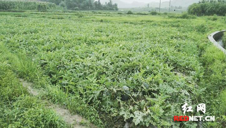 暴雨致邵阳15万公斤西瓜、湘西7000斤蓝莓滞销 急寻买主。