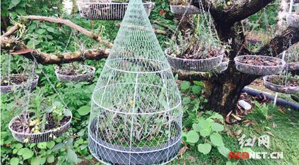 广西玉林铁皮石斛种植园