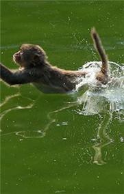 猴子戏水觅清凉