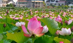 Lotus Flowers Bloom in Anren County