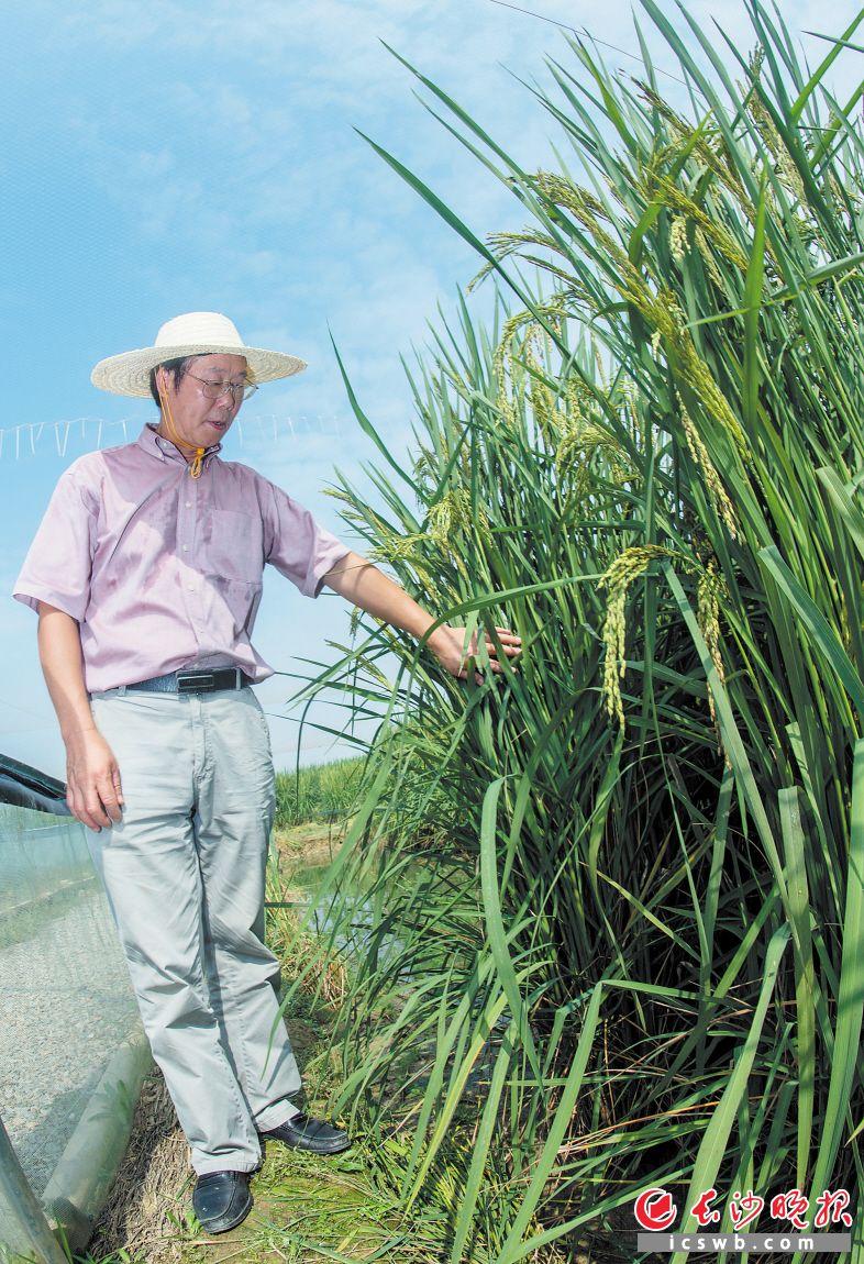长沙县金井镇湘丰村百亩巨型稻试验田里,巨型稻像高粱一样身形笔挺,个头高达2米,亩产达1000公斤。夏新界正在田间地头查看巨型稻长势。长沙晚报记者 李锋 摄
