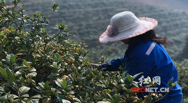 宁乡:荒山种栀子辟出香花园 美了乡村富了村民强了产业