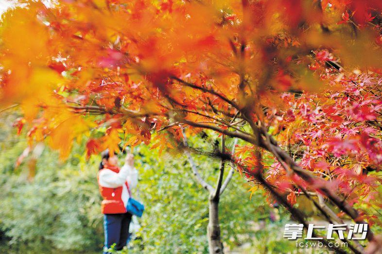 从11月初红叶出现至今,岳麓山已呈漫山红枫、层林尽染之势,吸引游客前来赏枫拍照。长沙晚报记者 李锋 摄