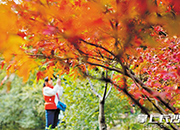岳麓山红叶今年提前20天变红