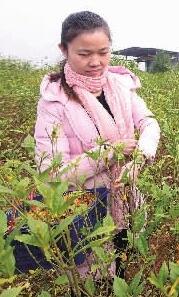 湖南9个产业集群带动260万人脱贫
