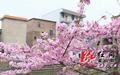蓝山观洞村樱花绽放美如画 花期将持续至4月中旬