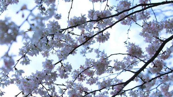 春暖花开季 野樱山间藏(组图)