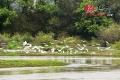 道县潇水河畔现白鹭飞舞成风景