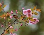 春到东山 樱花烂漫
