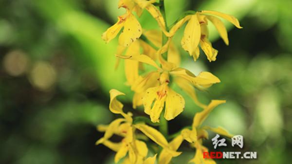 永州市境内首次发现野生大黄花虾脊兰