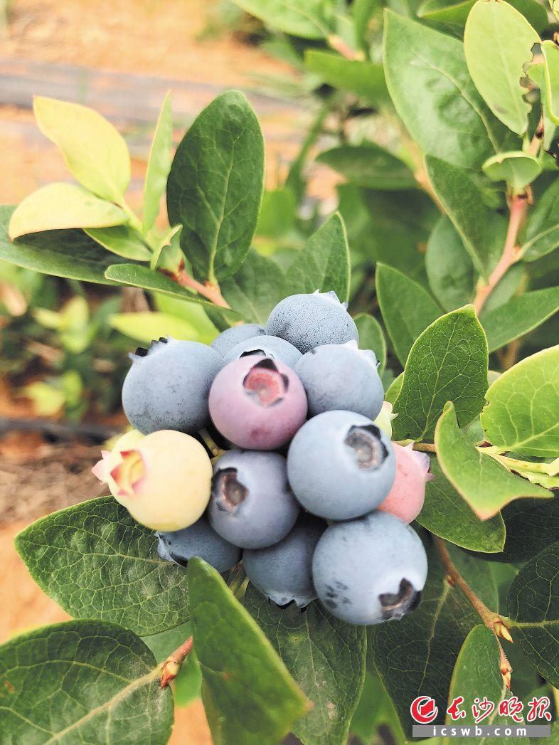 披着果粉的蓝莓挂在枝头。