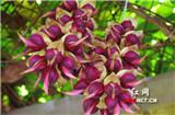Mucuna birdwoodiana in Hunan: beautiful, sweet and delicious