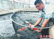"""长沙县:五彩观赏鱼""""游""""出致富路"""