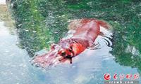 大熊猫住空调房吃冰糕 长沙生态动物园萌宠消暑花样多