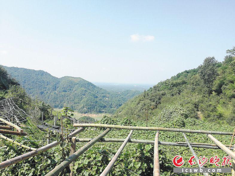 如今,茶亭水库上方的大山中种满了猕猴桃树。