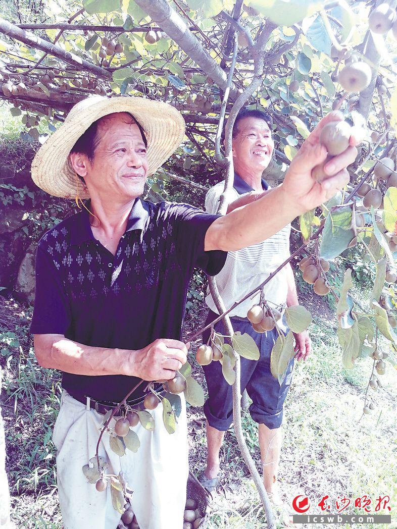 在历经多次挫折后,老哥俩的猕猴桃基地首次迎来丰收。图为谭小杰(左)和谭应龙正在采摘果实。均为长沙晚报记者朱华摄