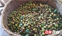 The season of ripe camellia fruits in Hunan