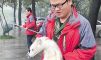 岳麓山发现一只伤病北极狐