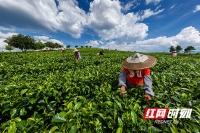 宜章县:莽山红茶红满天下